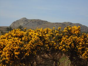 Gorse and Mountain, Cae Non