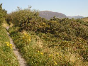 Path through gorse