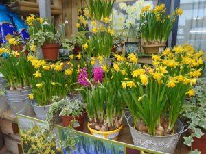 Daffodils at Fron Goch